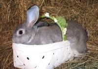 American Chinchilla Rabbits - Fall/Winter 2019 at  for 30