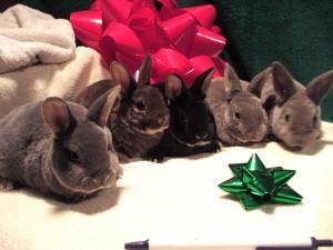 Mini-Rex Rabbits - PureBred Spring 2021