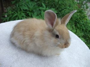 French Angora Rabbit - Fawn Colored