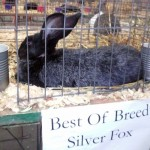 Our Newest Silver Fox - Won Best of Breed at KY State Fair 2017.