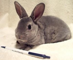 Mini-Rex Rabbits - PureBred Spring 2018