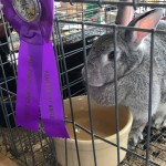 American Chinchilla wins award