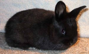 Baby Silver Fox Rabbit