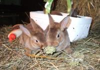 Mini-Rex Rabbits - PureBred Spring 2017 at  for 35