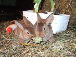 Mini-Rex Rabbits - PureBred Spring 2017