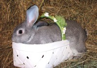 American Chinchilla Rabbits - Winter 2017 at  for 25