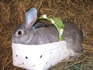 American Chinchilla Rabbits - Spring 2018