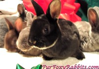 Mini-Rex Rabbits - PureBred Winter 2017 at  for 35