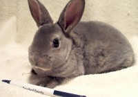 Mini-Rex Rabbits - PureBred Spring 2018 at  for 40